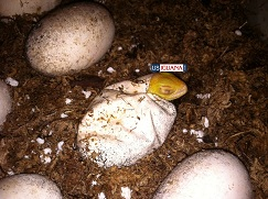 First few Albino eggs hatching